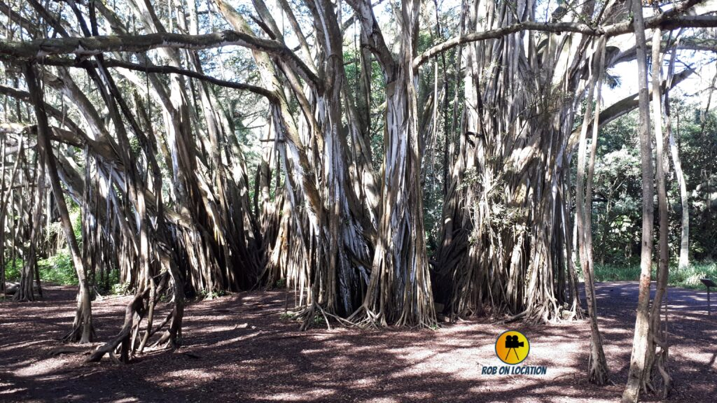 Lost Banyan Tree