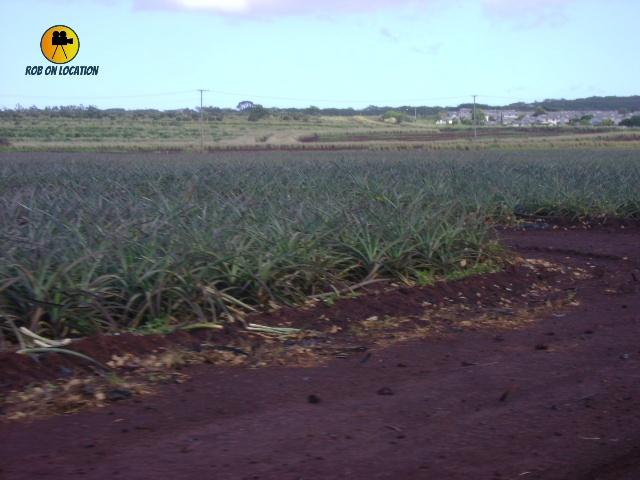 Pineapple fields in Blue Hawaii